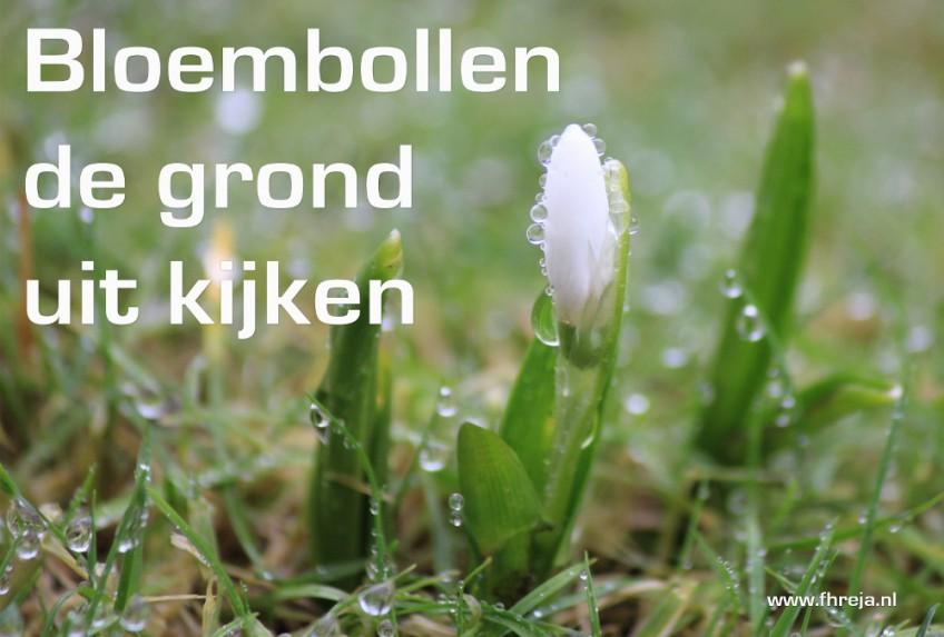 Blog - Week 5 - 2015 - Bloembollen de grond uit kijken - Sneeuwklokje - Fhreja - Ontwerpbureau Groene Leefomgeving