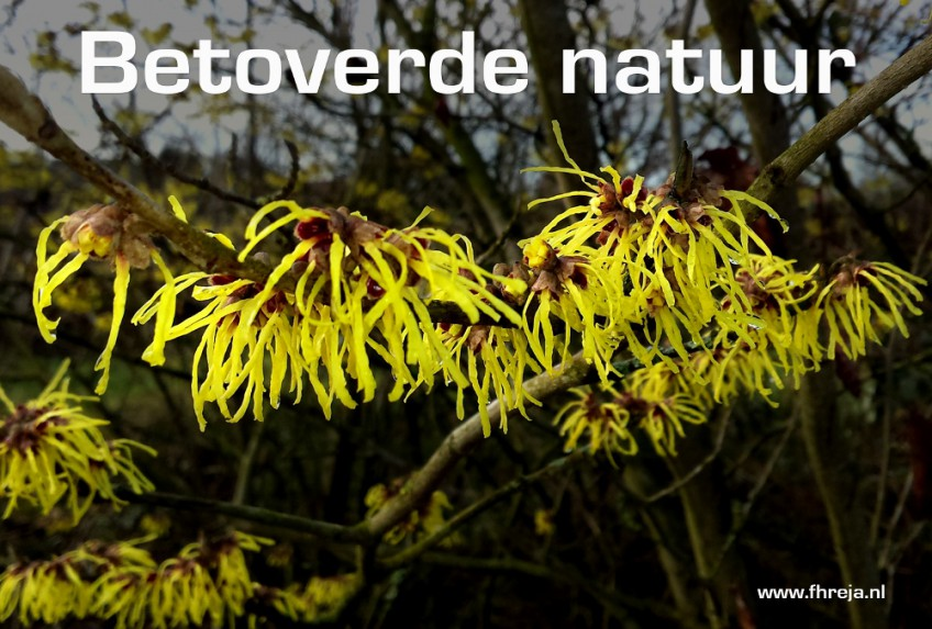 Blog - Week 7 - 2015 - Betoverende natuur - Hamamelis - Toverhazelaar - Fhreja - Ontwerpbureau Groene Leefomgeving