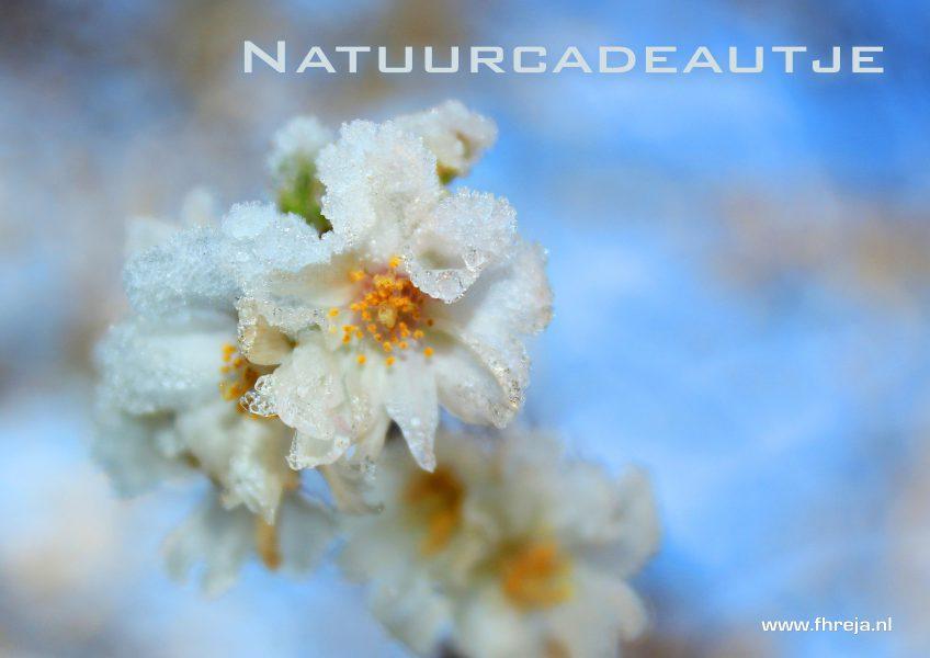 Natuurcadeautje Prunus