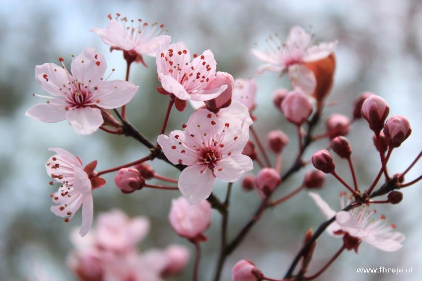 Fhreja - Ontwerpbureau Groene Leefomgeving - Prunus