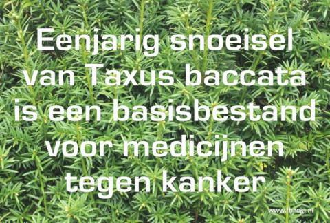 Blog - Week 15 - 2014 - Eenjarig snoeisel van Taxus baccata is een basisbestand voor medicijnen tegen kanker - Fhreja - Ontwerpbureau Groene Leefomgeving