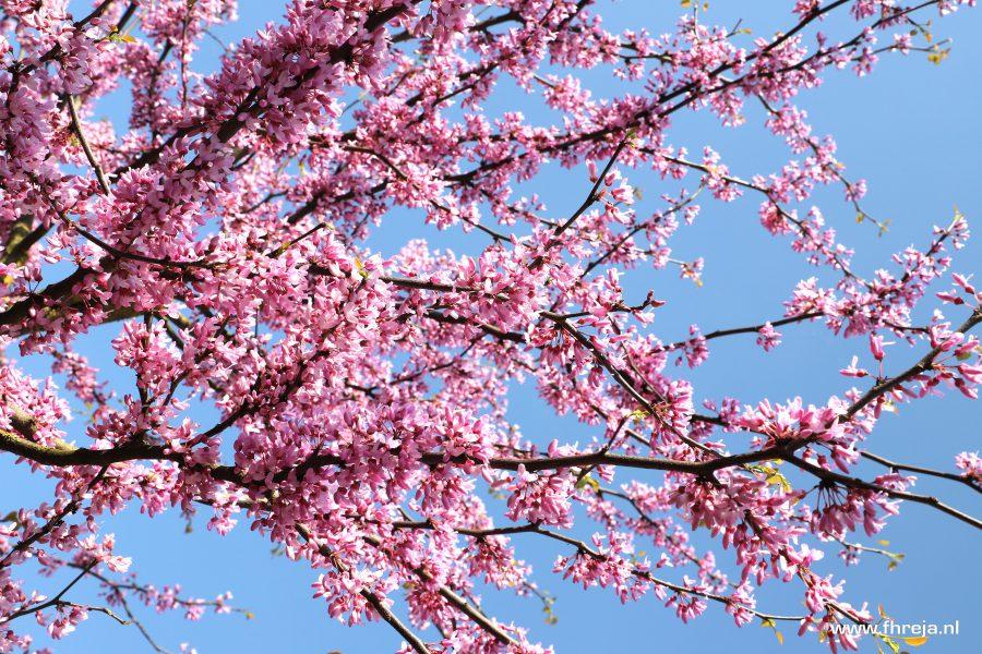 Cercis siliquastrum roze bloesem boom - Fhreja - Ontwerpbureau Groene Leefomgeving IMG_4616