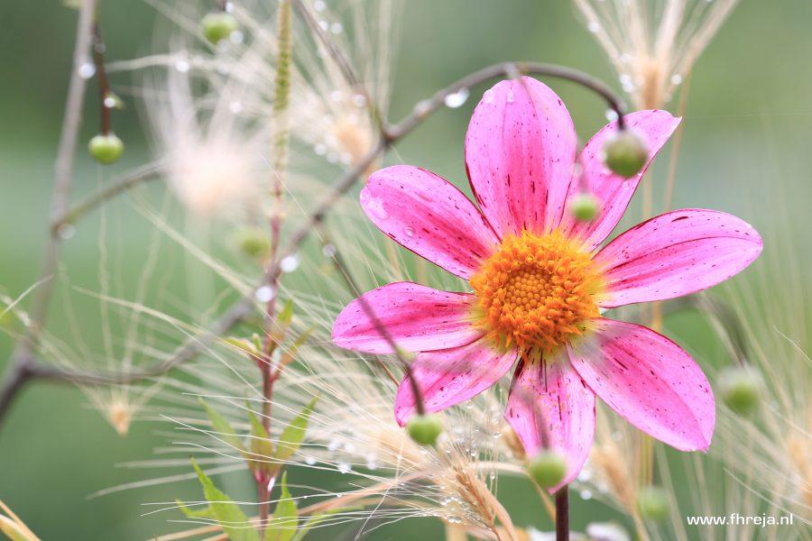 Dahlia 'Mars' (27) Bijen- en vlinderplant - Fhreja - Ontwerpbureau Groene Leefomgeving