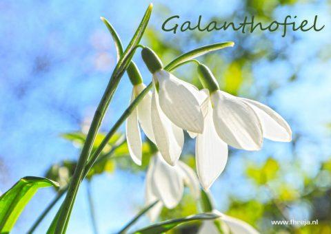 Galanthofiel