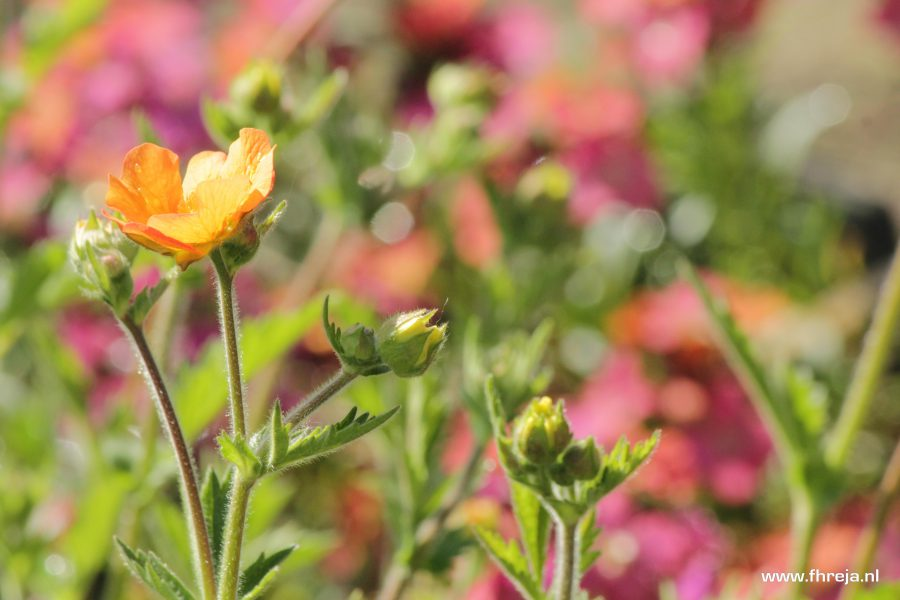Erysimum 'Constant cheer' met de Geum 'Totally Tangerine' - Fhreja - Ontwerpbureau Groene Leefomgeving
