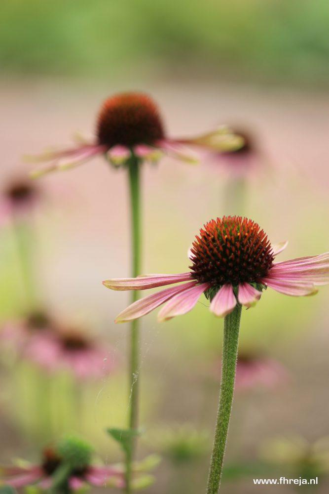 Fhreja - Ontwerpbureau Groene Leefomgeving - Echinacea