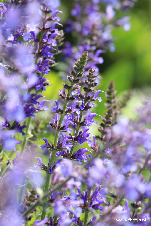 Salvia en Nepeta - Fhreja - Ontwerpbureau Groene Leefomgeving